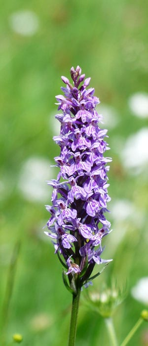 300_orchid